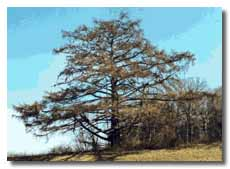 European Larch without leaves