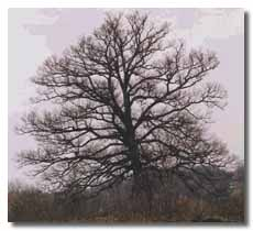 Security White Oak without leaves